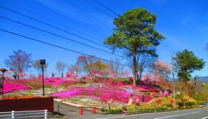 恵那峡 芝桜