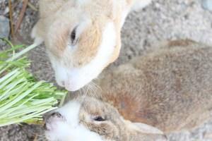 2羽仲良く水菜を食べるうさぎ島のうさぎ