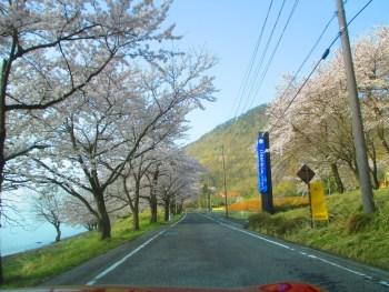 車と一緒に桜が撮れるスポット 海津大崎の桜
