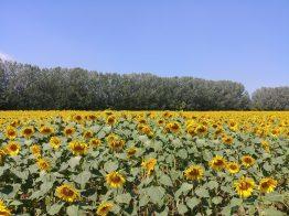 Foto di un campo di girasoli in modalità standard