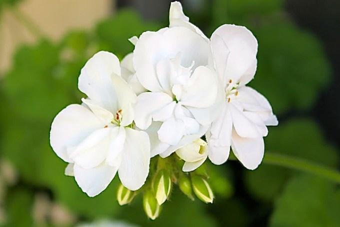 white geranium, spring
