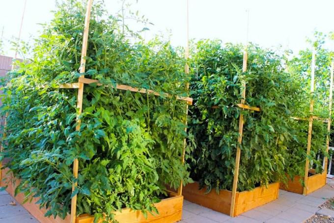 huerta de tomates de enrilemoine en el Sur de California