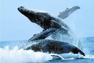 Ballenas jorobadas se podrán observar desde tierra
