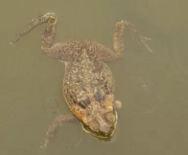 Descubren una nueva especie de rana en pleno Nueva York
