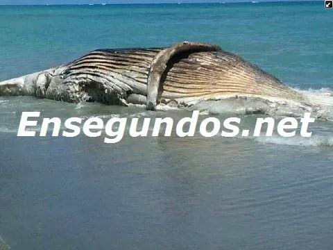 Imagen: Aparece ballena muerta en hotel de Gaspar Hernández