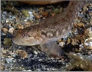 Un pez que amamanta a sus crías
