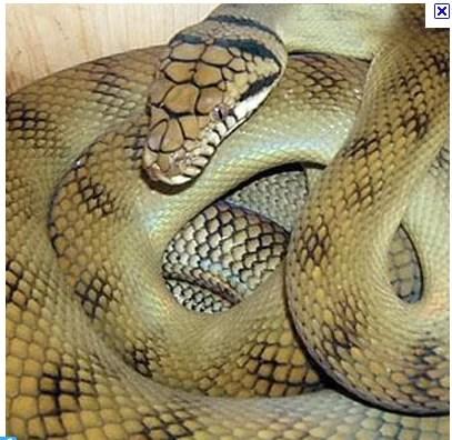 Capturaron una serpiente pitón de 4 metros en pileta de Miami
