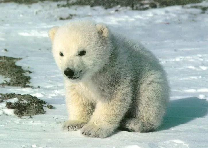 El Deshielo ártico amenaza  población de osos polares