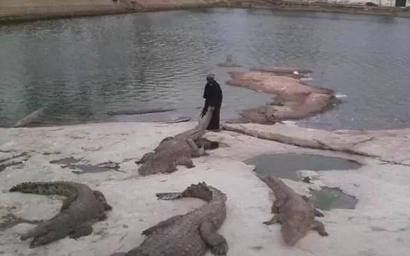 «Cría cocodrilos y te comerán vivo» (Video)