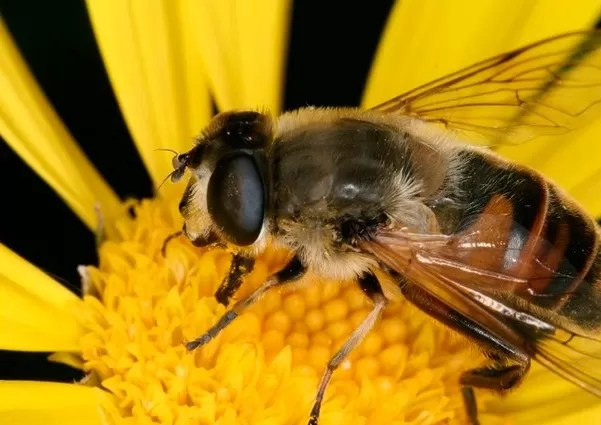 Picaduras de abejas en China como terapia de choque