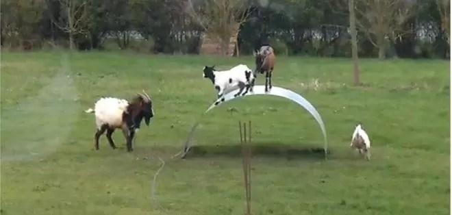 Video de cabras 'acróbatas' jugando enternece en redes sociales