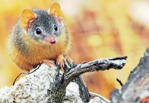 raton marsupial