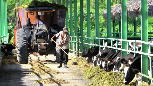 Ganado vacas