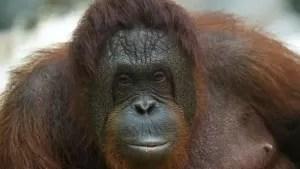 orangutan mono