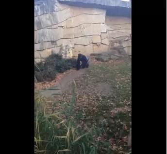 YouTube: Gorila se puso furioso al ser grabado por un turista