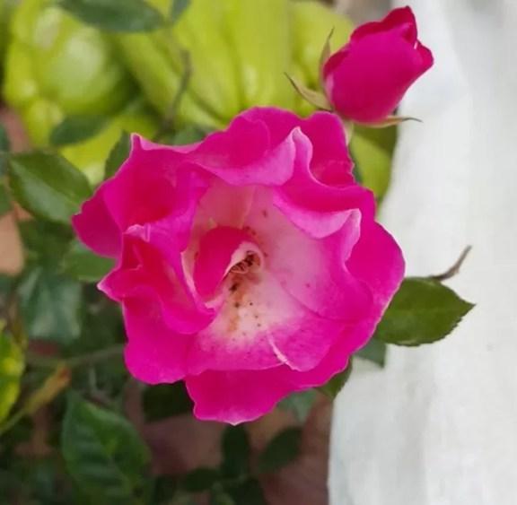 Rosa de Constanza