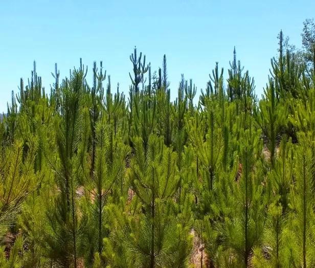 Medio Ambiente indica que plantarán 2 millones de árboles en un mes