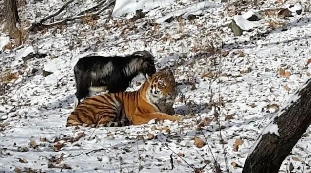El tigre que se hizo amigo de la cabra