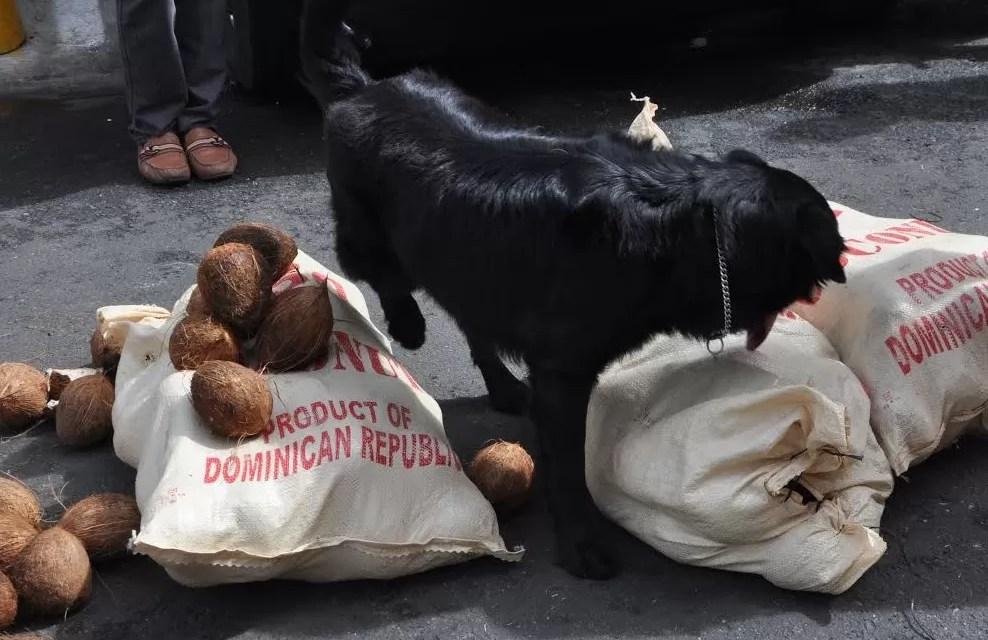 La DNCD decomisa 36 paquetes de cocaína camuflada en cocos