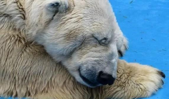 oso-triste