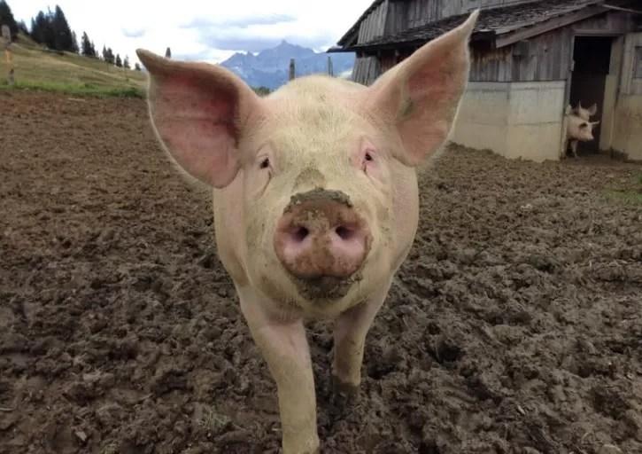 Detectan la peste porcina africana en otras tres provincias dominicanas