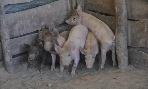 De América a Asia, los criaderos de cerdo amenazados por la peste porcina africana