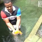 Video: Famoso criador de bettas y goldfish dominicano ya tiene 1.54 millones de suscriptores en Youtube