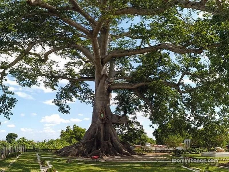 Este es el árbol más grande y robusto de RD, tiene más de 850 años