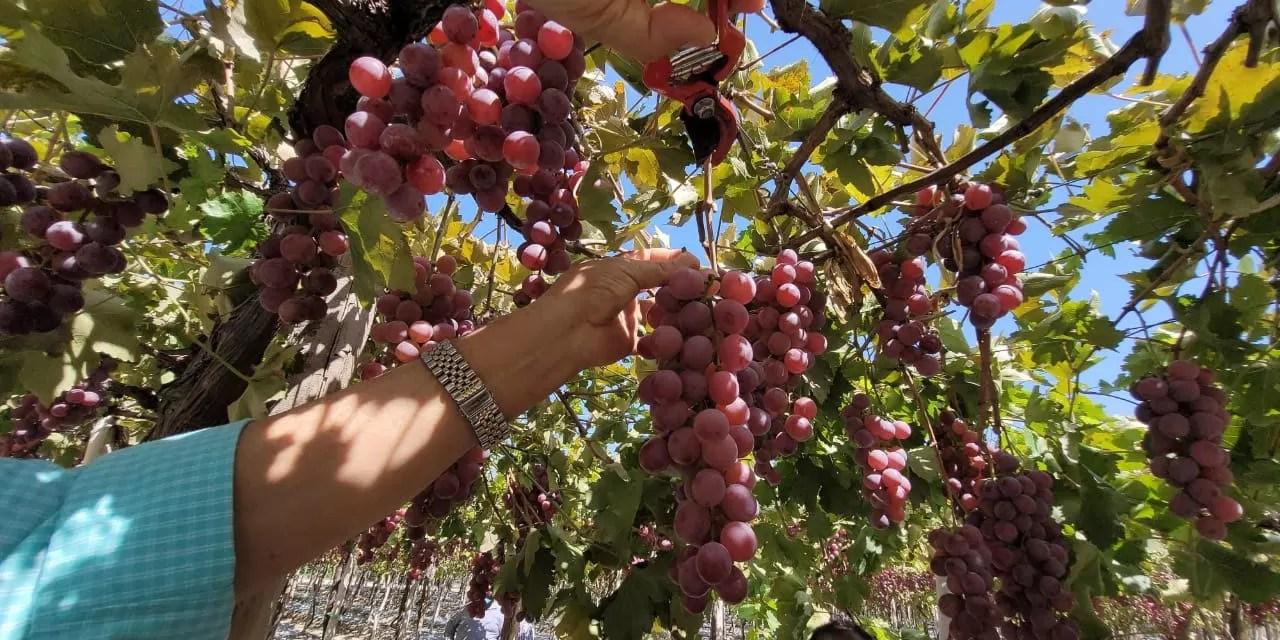 Gobierno apoya a productores de uva de Neiba