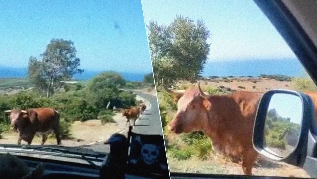 Video: Un conductor le pregunta el camino a una vaca y la reacción del animal no tiene precio