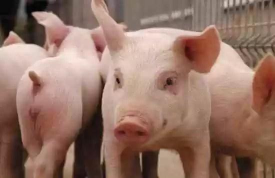 Ministros de Agricultura de 34 países apoyarán a RD contra fiebre porcina