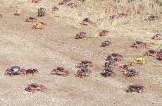 Marée basse à Emerainville : les crabes changent de panier !