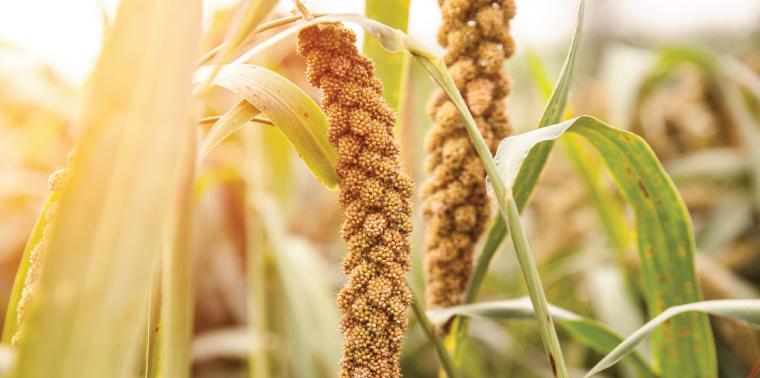 Mature millet in field
