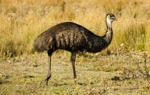 Burung Emu Australia