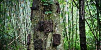 Pohon Tarra sebagai tempat penguburan bayi di Tana Toraja Baby Grave Kambira