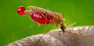 Inilah Nyamuk Penghisap Darah Penyebab Malaria