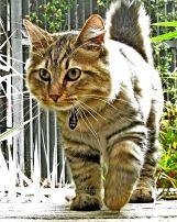 Jenis Kucing American_bobtail_2