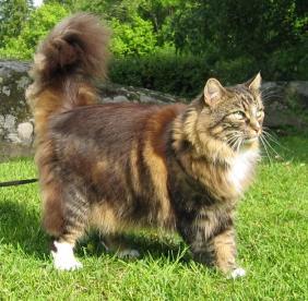 Jenis Kucing DUnia