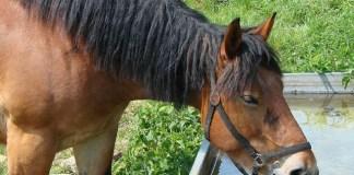 Minuman Berbahan Plasenta Kuda dan Plasenta Babi Dipercaya Membuat Perkasa serta Awet Muda