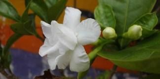 Manfaat Bunga dan Daun Mondokaki Bagi Kesehatan