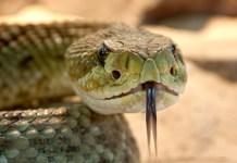 Acanthophis Cryptamydros: Spesies Ular Baru di Australia yang Mematikan - Rattle Snake