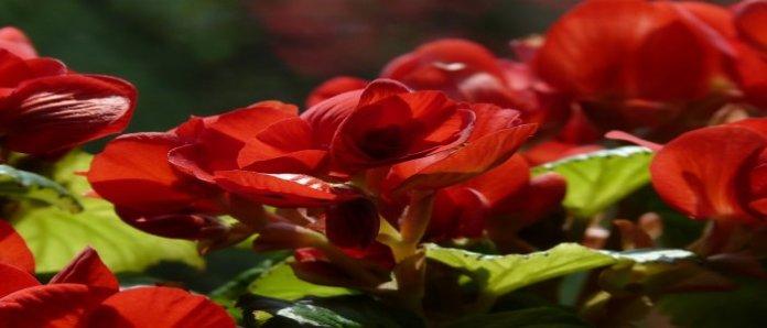 Inilah Khasiat Tanaman Begonia