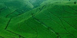 kebun teh kaligua