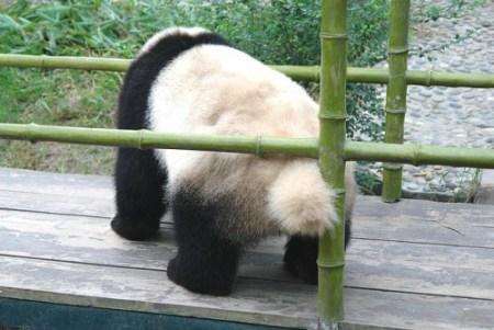パンダのしっぽ(尻尾)は黒色ではなく白色?写真・画像で検証!