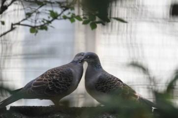 鳩の鳴き声の意味・種類・リズムは?朝にホーホーうるさい時 ...