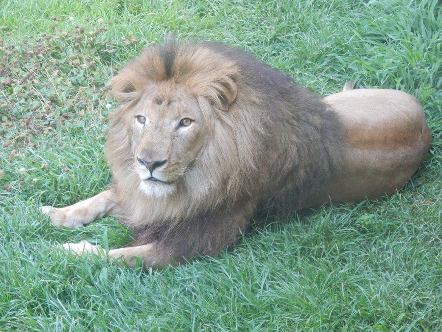 千葉市動物公園のライオンの名前、いつから来た、料金は?イケメンさも