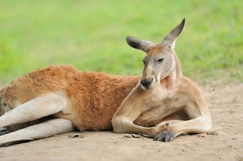 オーストラリアのカンガルーの数や種類・島!ぬいぐるみ等のお土産も