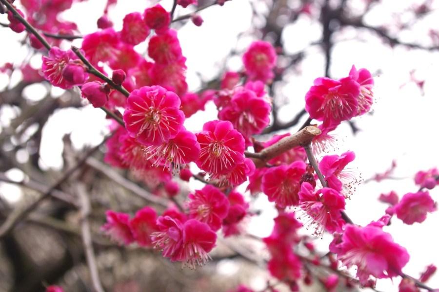 梅の花の季節・時期・開花・見頃はいつ?特徴や鶯との関係、お祭りも