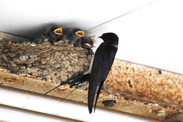 ツバメの巣は縁起が良い?風水や玄関にあると金運・幸運が舞い込む?