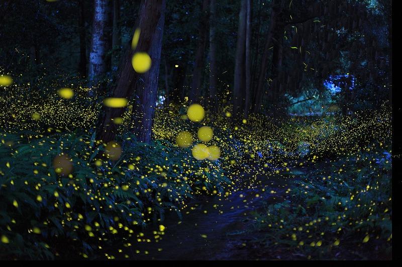 蛍は雨の日でも見れる?上がりの時は見やすい、濡れたら光らない?